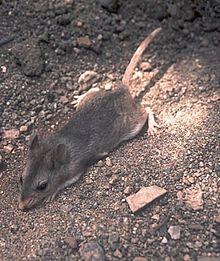 Southern Grhopper Mouse