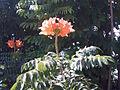 Spathodea campanulata flower.jpg