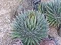 Specimen of Agave filifera at the Huntington Desert Garden.jpg