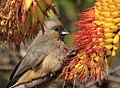 Speckled Mousebird (Colius striatus) in aloe (7623216686).jpg