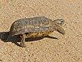 Speke's Hingeback Tortoise (Kinixys spekii) (13644724475).jpg