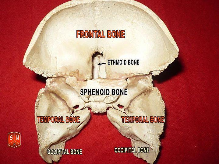 temporal bone - eanswers, Human Body
