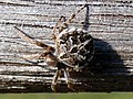 Spider in Heartwood Forest (34271136710).jpg