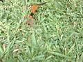 Spider wasp in grass.jpg