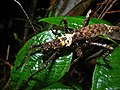 Spiny Stick Insect (Haaniella saussurei) (8419658658).jpg