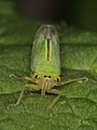 Spittle bug indet., female - (7328419728).jpg