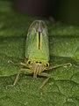 Spittle bug indet., female - (7328419728).jpg