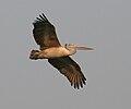 Spot-billed Pelican (Pelecanus philippensis) at Garapadu, AP W IMG 5358.jpg