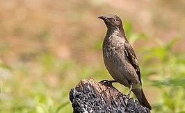 Spot Winged Starling Female (cropped).jpg
