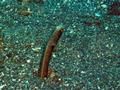 Spotted Garden Eel (30 cm).png
