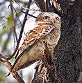 Spotted Owlet (Athene brama) at Bharatpur I IMG 5277.jpg