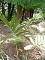 Stangeria eriopus KirstenboschBotGard09292010B.JPG