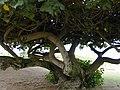 Starr-010309-0529-Hibiscus tiliaceus-trunk-Mai poina oe lau Beach Kihei-Maui (24236468110).jpg
