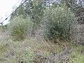 Starr-010423-0038-Olea europaea subsp cuspidata-small shrubs on side of road-Kula-Maui (24236842840).jpg