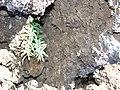 Starr-081014-0151-Pellaea ternifolia-habit-Halemauu Trail Haleakala National Park-Maui (24926198955).jpg