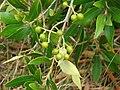 Starr-090421-6210-Olea europaea subsp cuspidata-fruit and leaves-Pukalani-Maui (24325460253).jpg