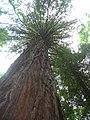 Starr-090521-9238-Sequoia sempervirens-large tree canopy-Polipoli-Maui (24930369606).jpg