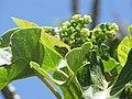 Starr-090610-0560-Jatropha curcas-leaves and flowers-Haiku-Maui (24963911565).jpg