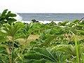 Starr-090618-1185-Tetrapanax papyrifer-habit near ocean-Keanae-Maui (24598242149).jpg