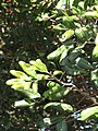 Starr-091023-8572-Cupaniopsis anacardioides-leaves-Makawao-Maui (24960586156).jpg