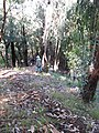 Starr-091115-1123-Eucalyptus sideroxylon-habit with Forest on ridge trail-Olinda-Maui (24989913695).jpg