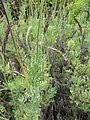 Starr-110307-2515-Lavandula sp-habit-Kula Botanical Garden-Maui (24984901861).jpg