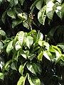 Starr-110330-4028-Canarium ovatum-fruit and leaves-Garden of Eden Keanae-Maui (24454261233).jpg