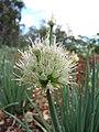 Starr-110411-4970-Allium fistulosum-flowers-Hawea Pl Olinda-Maui (24786944870).jpg
