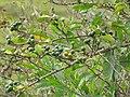 Starr-110502-5274-Solanum torvum-fruit and leaves-Kula-Maui (24467241143).jpg
