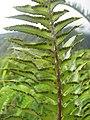 Starr-110827-8110-Nephrolepis exaltata-sori-Waihee Ridge Trail-Maui (24735829949).jpg
