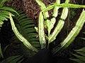 Starr-110920-9133-Pteris cretica-sori-Waiale Gulch-Maui (25020324981).jpg