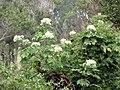 Starr-111129-1522-Montanoa hibiscifolia-flowering habit-Ulupalakua-Maui (24493683493).jpg