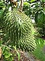 Starr-130312-2310-Annona muricata-fruit-Pali o Waipio Huelo-Maui (25113883921).jpg
