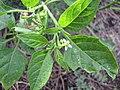 Starr-130319-2835-Solanum americanum-leaves flower immature fruit-Rock Quarry Beach Mokolea Pt Kilauea Pt NWR-Kauai (25115015821).jpg