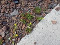 Starr-140502-0482-Matricaria discoidea-flowering habit-Summit parking area HNP-Maui (24946480810).jpg