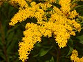 Starr-140930-2076-Solidago canadensis-flowers-Keokea-Maui (25246816515).jpg