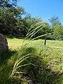 Starr-141025-2430-Panicum antidotale-leaves and seedhead-Kawela Bridge-Molokai (24880025859).jpg