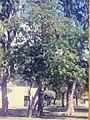 Starr-150327-0184-Tamarindus indica-old FWS photo-Near Midway Mall Sand Island-Midway Atoll (24899991129).jpg