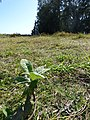 Starr-150401-0413-Pluchea carolinensis-seedling in moist bowl-West Beach Sand Island-Midway Atoll (24977240930).jpg