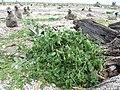 Starr-150403-1471-Solanum americanum-fruiting habit-Near Pier Eastern Island-Midway Atoll (24647191724).jpg