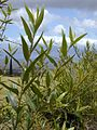 Starr 010419-0057 Olea europaea subsp. cuspidata.jpg