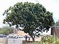 Starr 010820-0007 Ficus lyrata.jpg