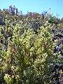Starr 040214-0134 Leptecophylla tameiameiae.jpg