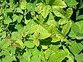 Starr 050222-4135 Passiflora foetida.jpg