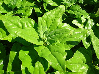 "Aizoaceae - Tetragonia tetragonoides (""New Zealand spinach"")"
