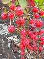 Starr 050815-7396 Rubus argutus.jpg
