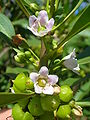 Starr 060305-6527 Myoporum sandwicense.jpg