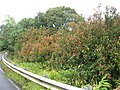 Starr 060422-9435 Syzygium jambos.jpg
