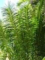Starr 060905-8757 Cycas circinalis.jpg