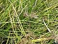 Starr 061108-9643 Cyperus javanicus.jpg